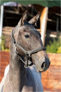 Photo cheval a vendre PRAGUE DE LA GESSE